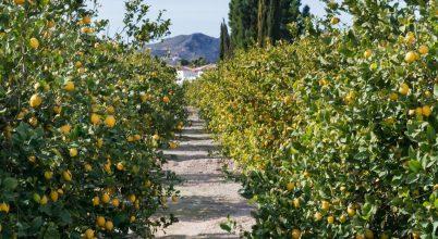 A citrusfélék iránti kereslet alapozta meg a szicíliai maffia hatalmát