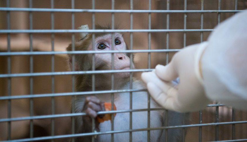 Agykutatók kínoztak majmokat Németországban