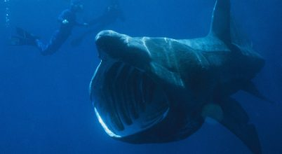 Műanyaggal mérgezzük a tengerek óriásait