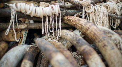 Hongkong is betiltja a belföldi elefántcsont-kereskedelmet