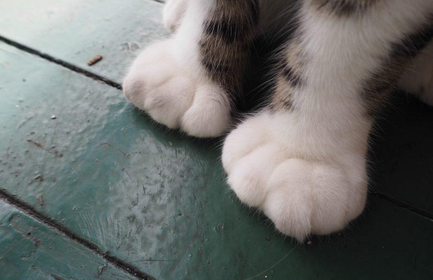 Különleges cicák a Hemingway Múzeumban