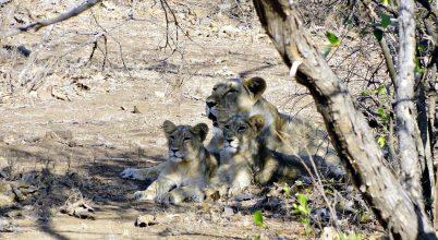 Ismét nőtt az ázsiai oroszlánok egyedszáma