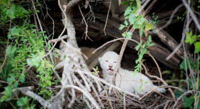 Ritka, fehér oroszlánkölyköt láttak a vadonban
