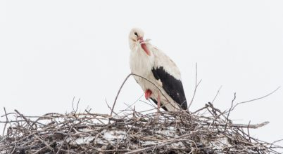 Érkeznek az első gólyák, ám tavasz helyett telet találnak