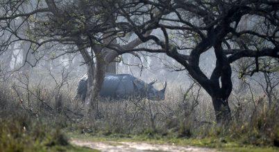 Jó hír az indiai orrszarvúkról
