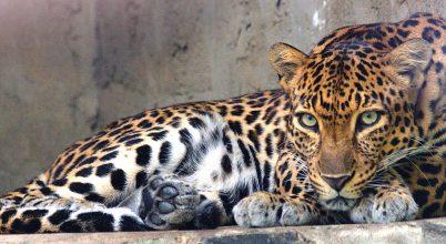 Kihalás szélén az indokínai leopárdok