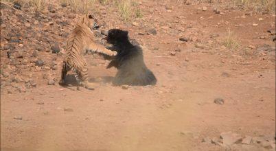 Egy medve és egy tigris félelmetes harca