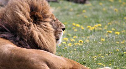 Hatalmas oroszlán uralta Kelet-Afrikát 200 000 évvel ezelőtt