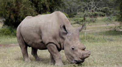Elpusztult Sudan, az utolsó hím északi szélesszájú orrszarvú