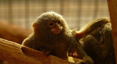 Újabb információ a világ legkisebb majmairól