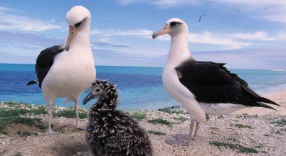 Vérszomjas egerek támadják a Midway-atoll albatroszait