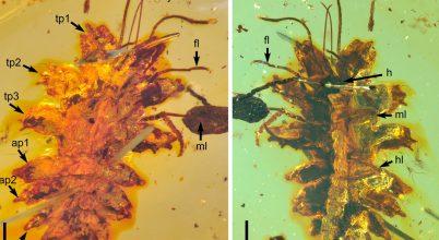 Rejtőzködő lárvákra bukkantak a 100 millió éves borostyánokban
