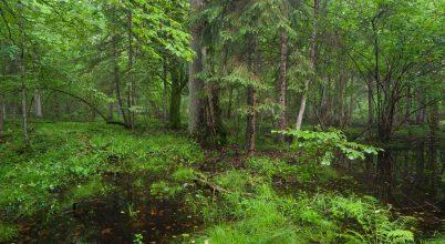 Megmenekülhet Európa leghíresebb őserdeje