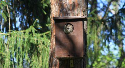 Egyre több mesterséges odúba költöznek a baglyok
