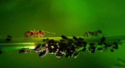 A nap képe: Mézharmatot csemegéző hangyák