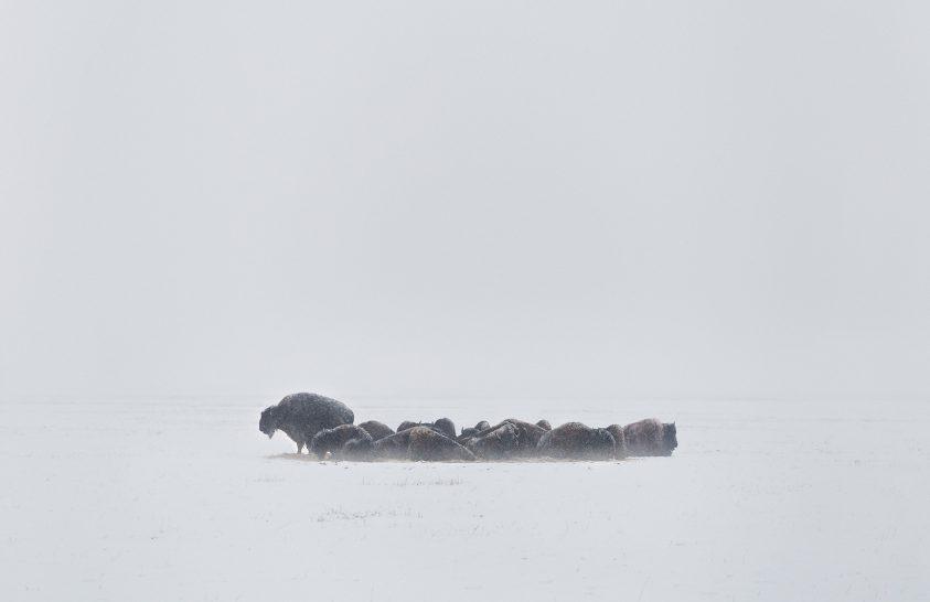A nap képe: Ahogy még nem láttuk a bölényeket