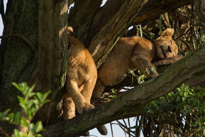 Méreggel ölhettek meg tizenegy oroszlánt Ugandában