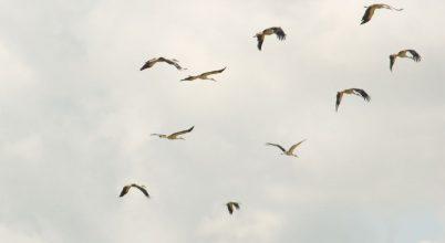 Gólyák repülési taktikája