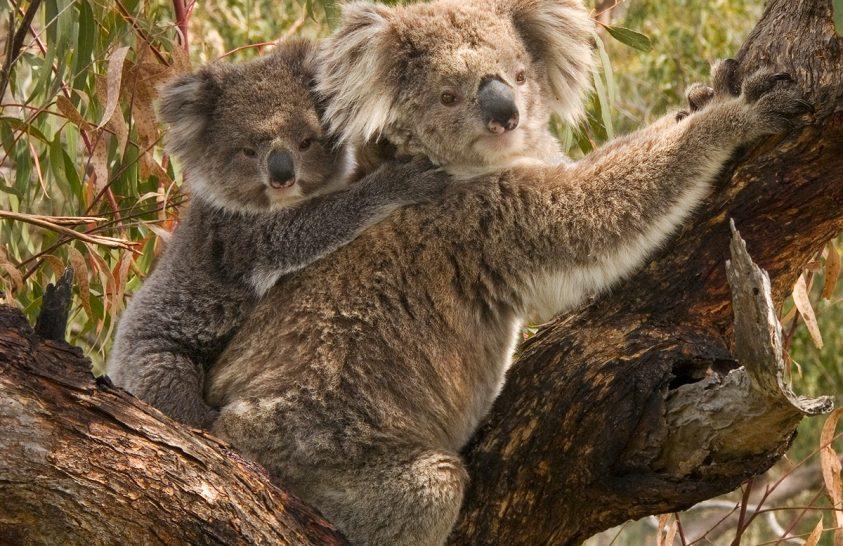 Óriásprojekt indul a koalák megmentéséért