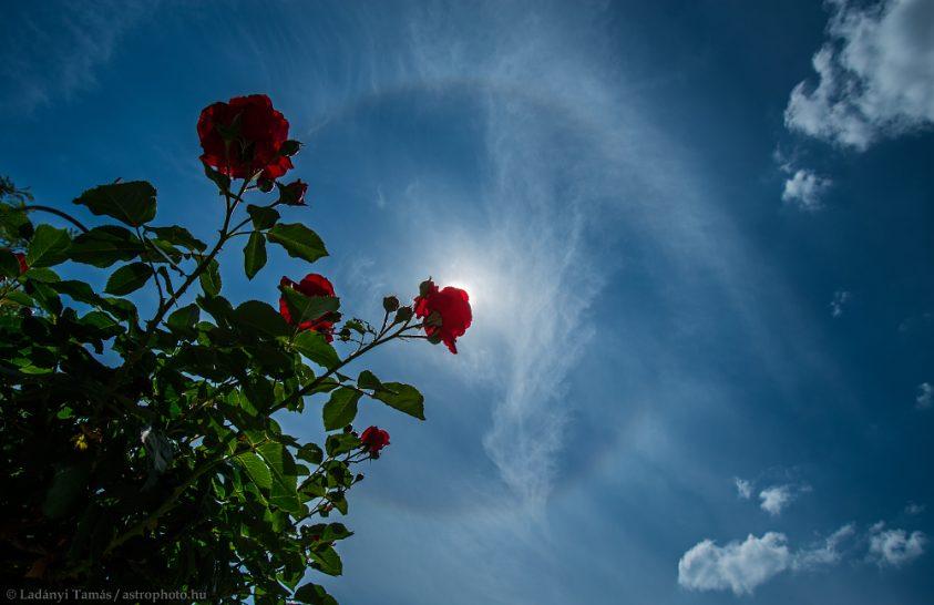 Pünkösdi naphaló