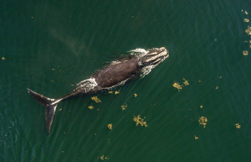 Védik a bálnákat a halászhajóktól Kanadában