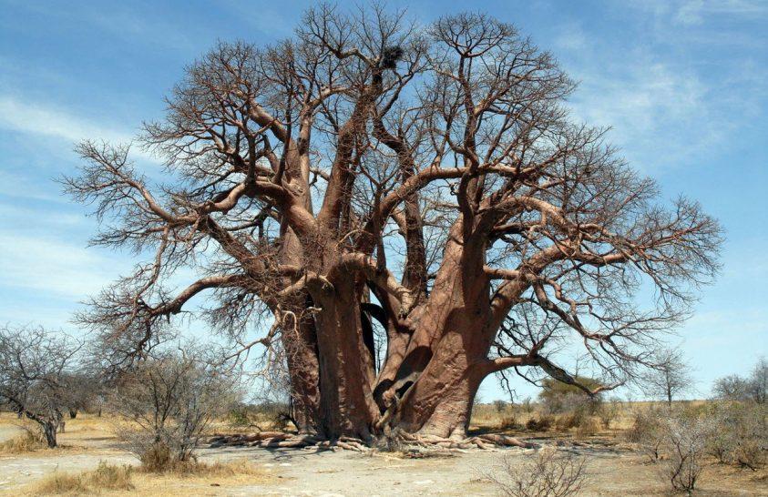 Több ezer éves fák haltak meg Afrikában