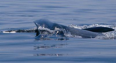 Izland a tiltás ellenére sem hagy fel a bálnavadászattal