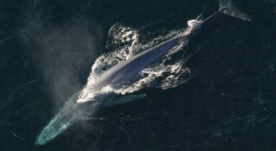 Először bukkant fel kék bálna a Vörös-tengerben
