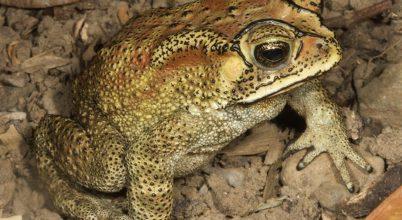 Invazív varangy fenyegeti a madagaszkári élővilágot