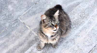 Elvadult macskák pusztítják Ausztrália hüllőit