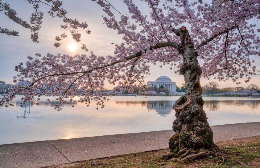 A nap képe: Virágzó cseresznyefa Washingtonban
