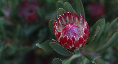 Virágzó prótea Dél-Afrikában