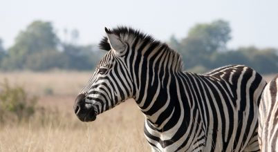 Nem is hűti az állatokat a zebracsík