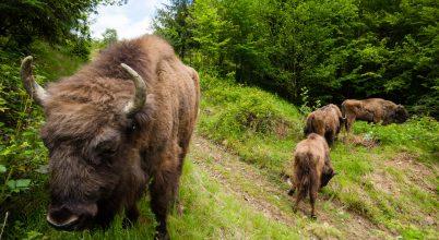 Folytatódik a bölények visszatelepítése a Déli-Kárpátokba
