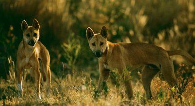 Mikor is érkeztek a dingók Ausztráliába?