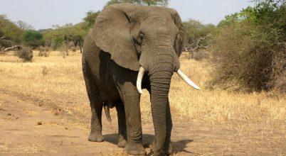 Apró rovaroktól rettegnek Afrika elefántjai
