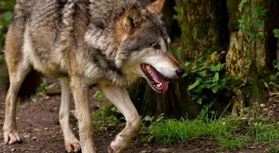 Kóborló csernobili farkasok