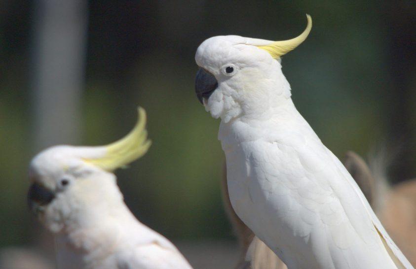 Egy kakadu legrégebbi európai ábrázolására bukkantak a Vatikánban