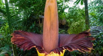 Káprázatos videó készült a világ legnagyobb virágáról