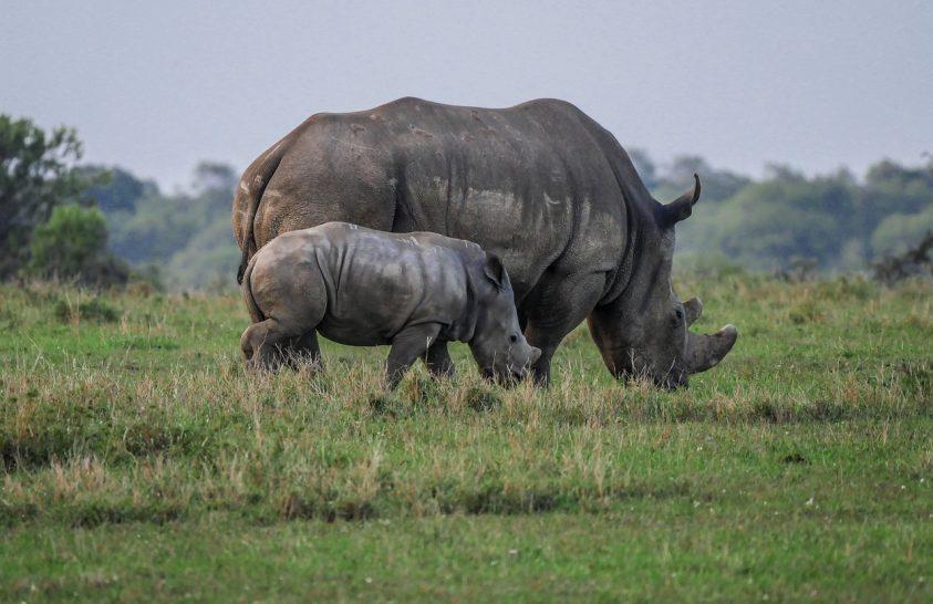 Egy centiméter tülökért öltek meg egy rinocéroszt
