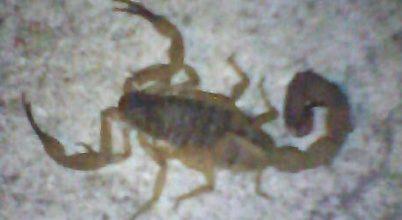 Ha nincs erdő, városba költöznek a skorpiók Brazíliában