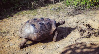 Nincsenek veszélyben a Galápagos-szigetek teknősei