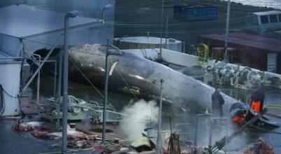 Óriási galibát okozott magának a bálnavadász vállalat