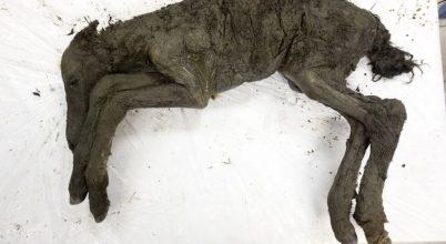 Jégkori csikó került elő a permafrosztból