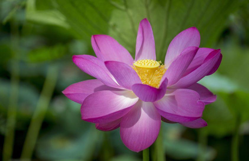 Virágzó indiai lótuszok