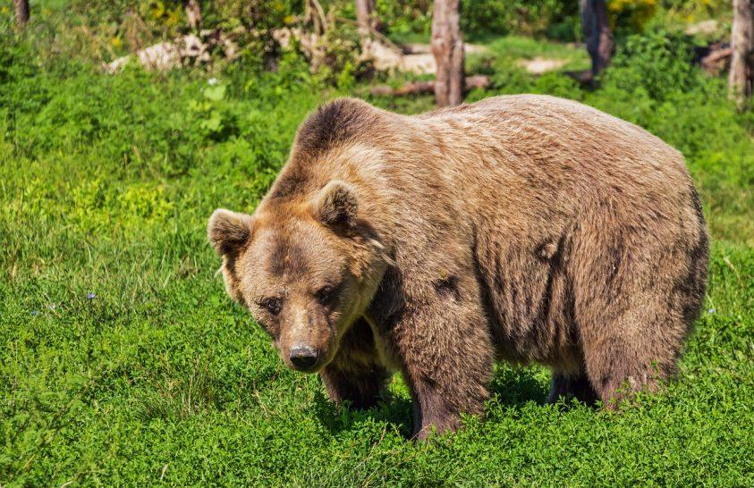 A barlangi medve genetikai öröksége ma is kimutatható