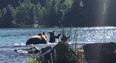Önfeledten fürdőznek a medvék a Szent Anna-tóban