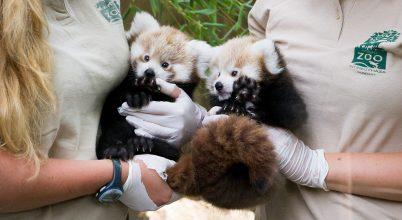 Ismét kis pandák születtek a Nyíregyházi Állatparkban!