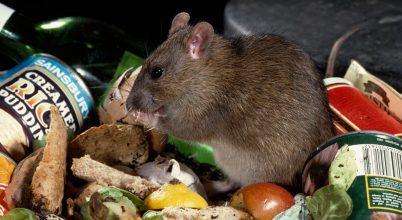 Jól élnek a nagyvárosi patkányok