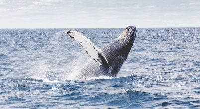 Korlátozott engedély bálnavadászatra
